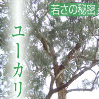 ユーカリ茶(ユーカリ・リーフ100%)